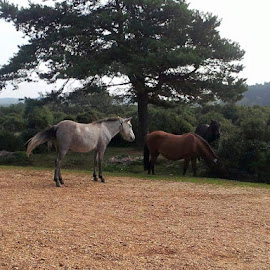 New Forest  by Lorraine Stockham - Animals Horses (  )