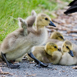 ...You Put Your Left Foot In... by Rod Schrader - Animals Fish ( babies, waterfoul, gosling, geese, birds )