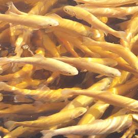 largemouth by Tina Frankfurt - Animals Fish