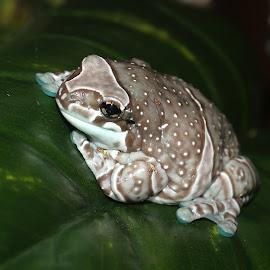 Frog by Paramasivam Tharumalingam - Animals Amphibians