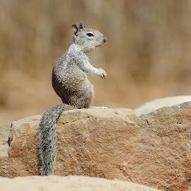 La surveillance du squirrel by Gérard CHATENET - Animals Other Mammals