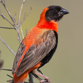Black and red by Francois Retief - Animals Birds