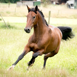 horse in galop by Nicky Staskowiak - Animals Horses ( free, horse, belgium, brown, running )
