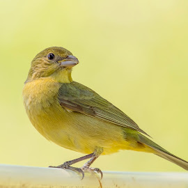 Female Painted Bunting by Steve Munford - Animals Birds ( bunting, animals, painted, female, birds )