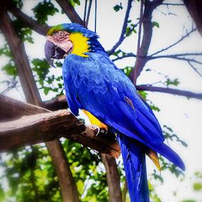 Tropical Blue by Debbie Jones - Animals Birds ( bird, zoo, tropical, tropical bird, animal,  )