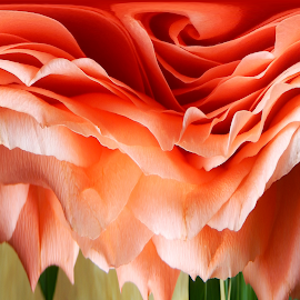 Distorted Rose by Sandra Aguirre - Abstract Macro ( abstract, orange, rose, distorted, roses )