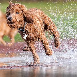 go sam  by Michael  M Sweeney - Animals - Dogs Running ( joy, labradoodle, play, michael m sweeney, run, dog )