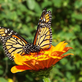Butterfly Dance by Jessica Mashke - Novices Only Wildlife ( orange, butterfly, novices only, wildlife, flower,  )