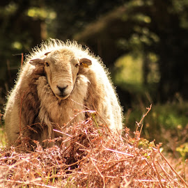 Elder Sheep. by Kelly Williams - Animals Other ( canon, farm, sheep, photography, animal,  )