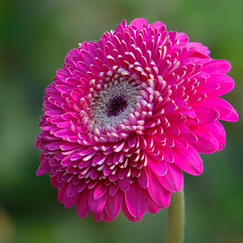 Magenta Gerbera by Jim Downey - Flowers Single Flower ( magenta, green, white, gerbera, petals )