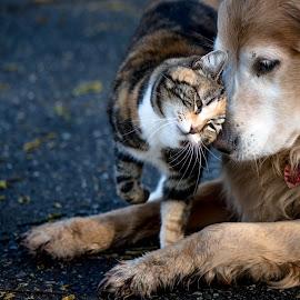 by Debbie Thiessen - Animals - Cats Portraits ( shasta, optic )