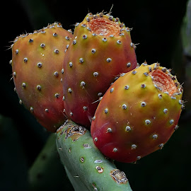 Prickly Pear by Costa Philippou - Food & Drink Fruits & Vegetables ( fruit, greece, prickly pear )