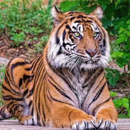 by Judy Rosanno - Animals Lions, Tigers & Big Cats ( march 2018, san antonio zoo, spring,  )