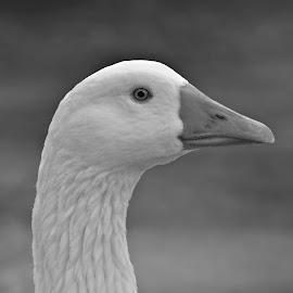 Goose by Jarrod Unruh - Black & White Animals ( nature, goose, bird photography, bird, animal, black and white, animals, birds, birding,  )