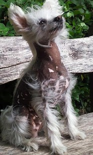 Chinese Crested Dog Puzzle - screenshot