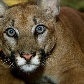 Cruz by Stephan Guenot - Animals Lions, Tigers & Big Cats ( cougar, arizona, tucson, mountain lion, puma )