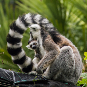 Roxy & Rascal by Sinclair Parkinson - Animals Other Mammals ( canon, ring-tailed lemur, 7d, zoo, fat spanner photography, sinclair parkinson, rascal, roxy, lemur, juvenile, bristol zoo gardens, bristol )