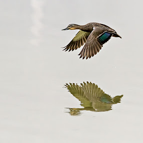 Flying Duck by Gary Beresford - Animals Birds ( reflection, duck, lake, mist )