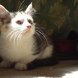 kitty 2  by John Knowles-smith - Animals - Cats Kittens ( cat, ambient light, pets, kitty, portrait )