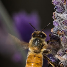 Bee with Lavendar by Simon Hall - Animals Insects & Spiders