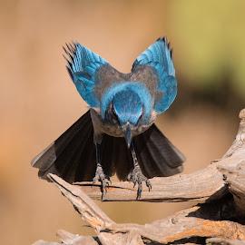 Transition Jay by Sandy Hurwitz - Animals Birds