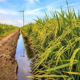 Paddy Field by Jie Jack - Landscapes Prairies, Meadows & Fields ( field, green field, blue sky, paddy field, green, paddy, ripe, sekinchan,  )