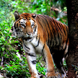 by Rohan Ghosh - Animals Lions, Tigers & Big Cats ( big cats, tiger, royal bengal tiger, into the wild )