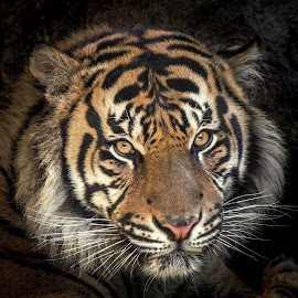 The Eyes Of The Tiger by Linh Tat - Animals Lions, Tigers & Big Cats ( orange, eyes;, animal;, portrait, tiger; )