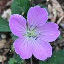 Wild Geranium (aka Wood Geranium or Old Maid's Nightcap)