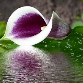 nice cala by LADOCKi Elvira - Digital Art Things ( flowers )
