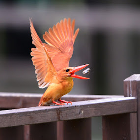 Ruddy Kingfisher by Young Sung Bae - Animals Birds