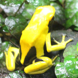 Yellow Frog by Richard Crosier - Animals Amphibians ( nature, wildlife, yellow, landscapes, frogs,  )