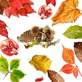 autumnal elements collage by Donatella Tandelli - Nature Up Close Leaves & Grasses ( shell, fruit, pomegranate, autumnal, decorative, texture, green, white background, yellow, beauty, leaf, leaves, acorn, chestnut, red, nature, autumn, collage, brown, natural )