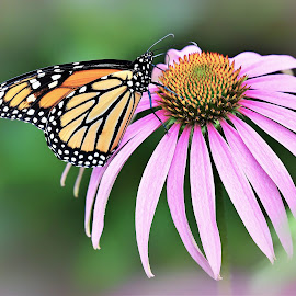 Monarch by Jadwiga Dabrowski - Animals Insects & Spiders ( butterfly, monarch, flower )