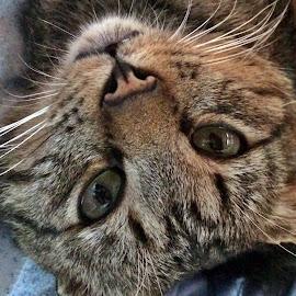 Tigrisor by Dobrin Anca - Animals - Cats Portraits ( love, cat, wonder, romania, friend )