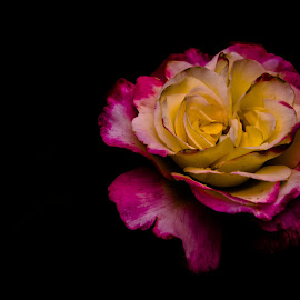 Blooming by Georgiana Grigore - Novices Only Flowers & Plants ( rose, blooming, dark, pink, yellow, flower )