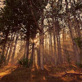 by Nediljko Prološčić - Landscapes Forests ( fog, forest, sunrise, morning )