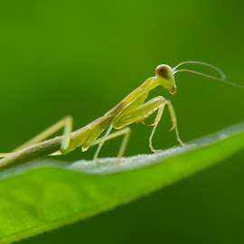 Baby Mantis by Yana Supriyatna - Animals Insects & Spiders ( nature, green, mantis, baby, insect )