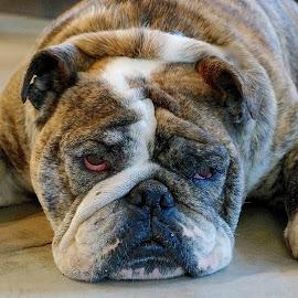 Bulldog Bully by Barbara Brock - Animals - Dogs Portraits ( english bulldog, pet, sleeping bulldog, bulldog lying down, dog )