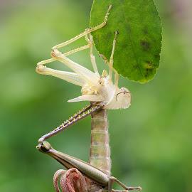 by Alfian Hangga Diputra - Animals Other ( macro, macro photography, insects )