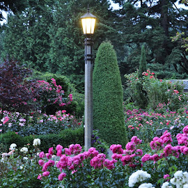 Rose Garden at Dusk by Leise Wease  Photography - Nature Up Close Gardens & Produce ( roses, scenery, flowers, garden, flower )