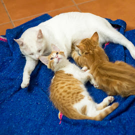 family set.. a tomcat and 2 kittens by Annette Flottwell - Animals - Cats Kittens ( kitten, mamaeando, milking, gatito )