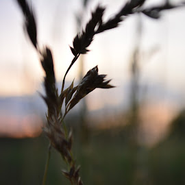 In the breeze by Thomas Fitzrandolph - Nature Up Close Leaves & Grasses ( grass, sunsets, niagara county ny, nikon d5200, weeds, lockport ny )