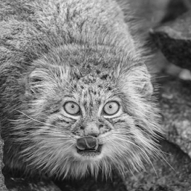 Pallas by Garry Chisholm - Black & White Animals ( pallas cat, nature, big cat sanctuary, canon, garry chisholm )