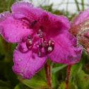 Kamchatka Rhododendron