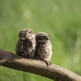 Evening Sun by Jürgen Sprengart - Animals Birds ( owl, light., sun, babys )