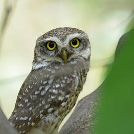 Owlet_pose by Thejas Cr - Animals Birds