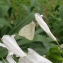 Mariposa garabato