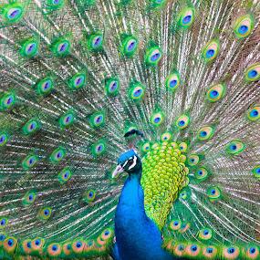 Peacock by Dustin Wawryk - Animals Birds