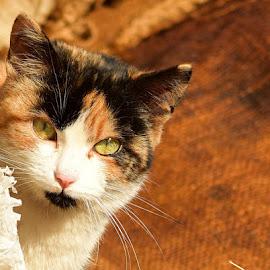 by Cristian Banu - Animals - Cats Portraits
